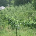 manzanos de sidra
