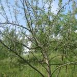 Plantación de manzanos Allande