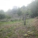 Limpieza en plantación de manzanos